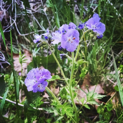 purple phacelia wildflower