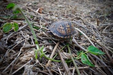 box turtle in kudzu