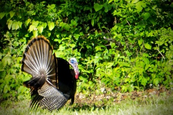 wild turkey tom
