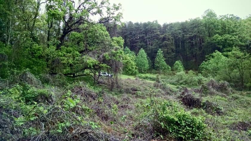 kudzu field in springtime