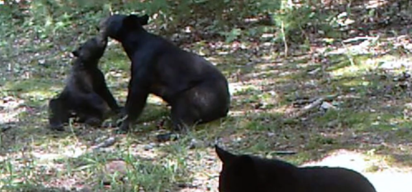 black bear and 2 cubs