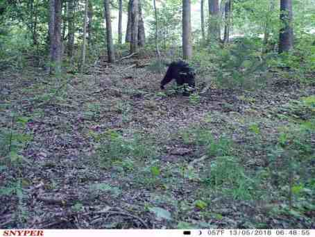 black bear in the woods on game cam