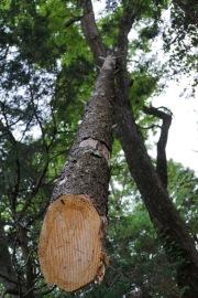 cut pine tree stuck in a live tree