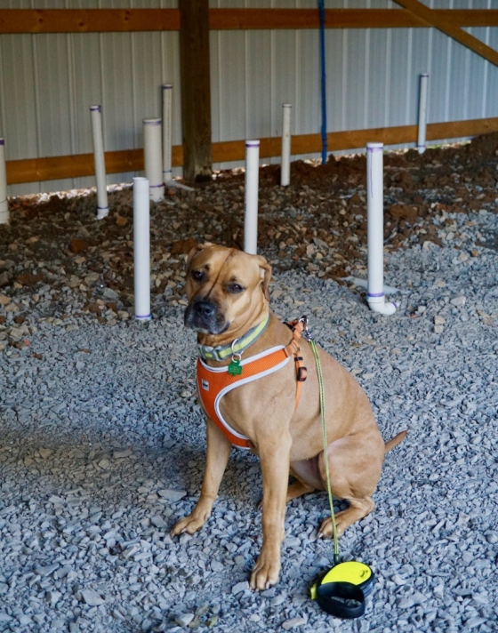 black mouth cur inside barn with gravel floor