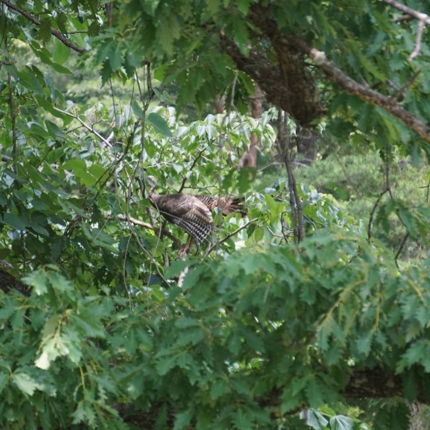 wild turkey in oak tree