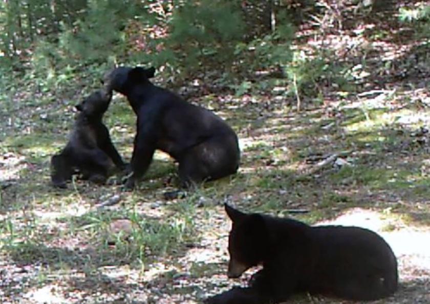 blackbear-cubs