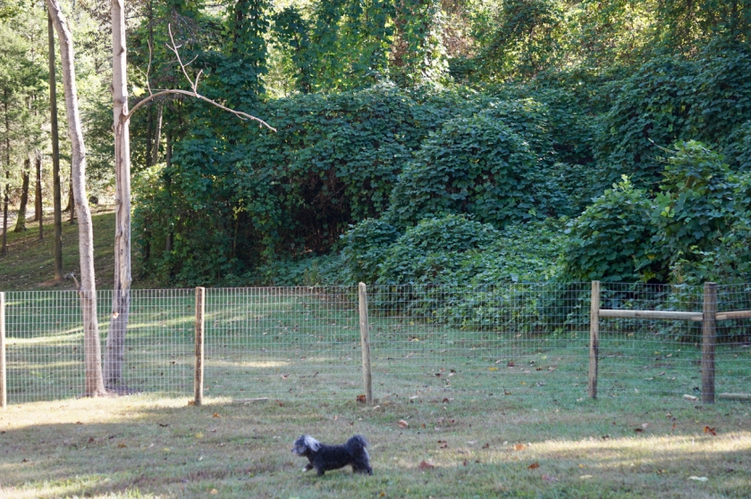 small dog in fenced in yard