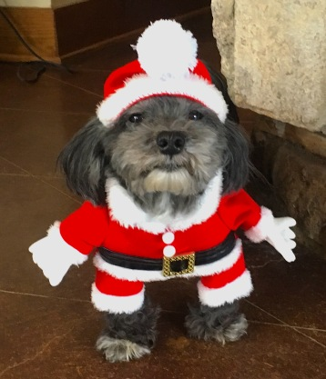 havanese in a Santa suit