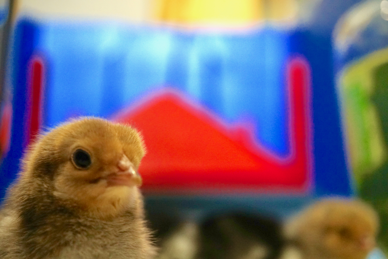Buff Brahma chick close up with brooder heater in background