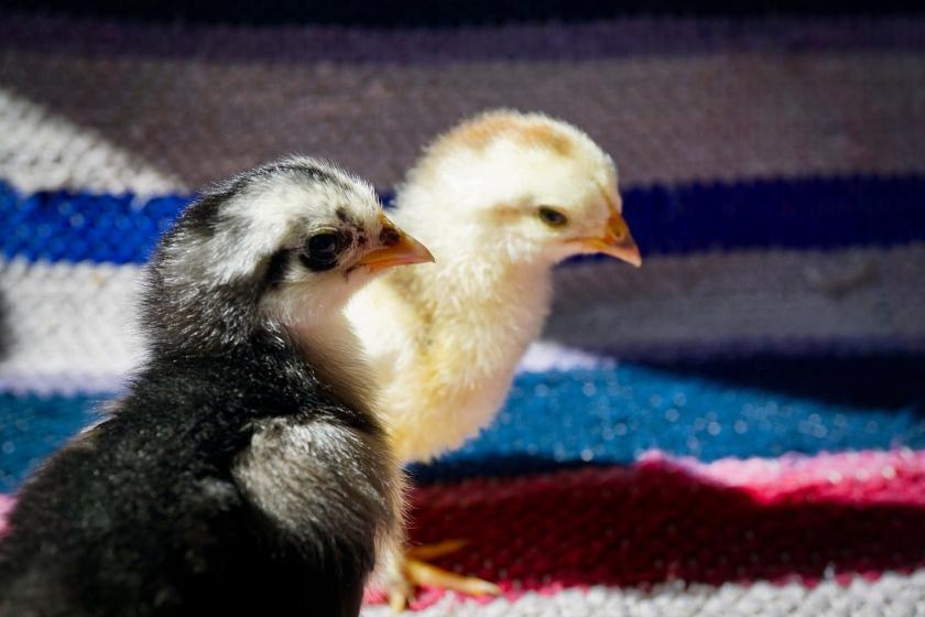 Buff Brahma chick and Langshan chicks