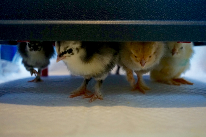 day-old Black Langshan and Buff Brahma chicks under a brooder heating plate