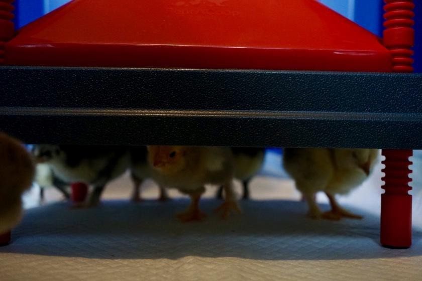 HeatingPlate-7chicks