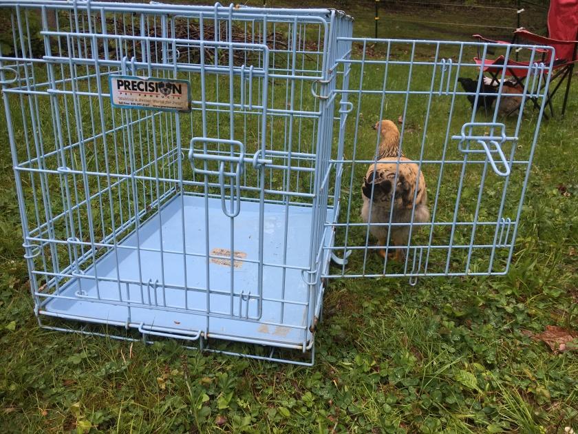 BuffBrahma-DogCrate