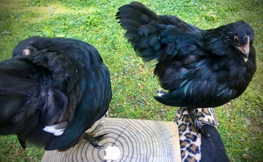 ChickenBlogging.jpg