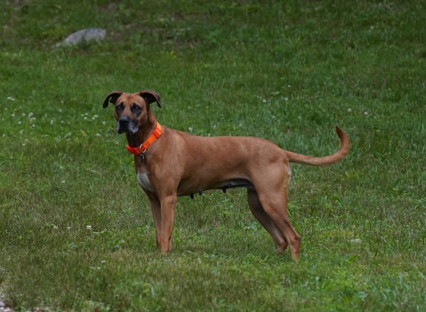 BlackMouthCur-Rescue-Sara