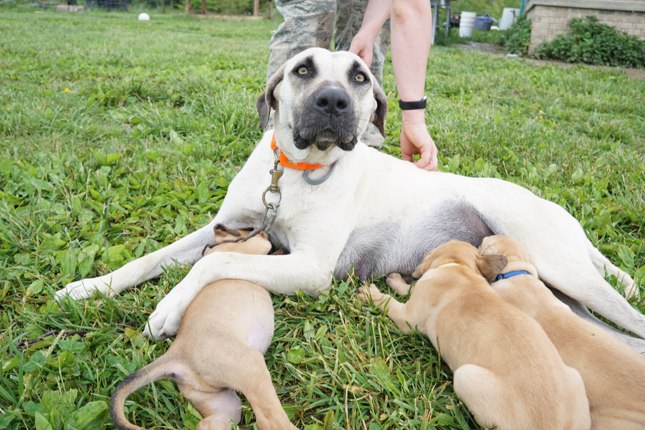 BlackMouthCur-withPuppies